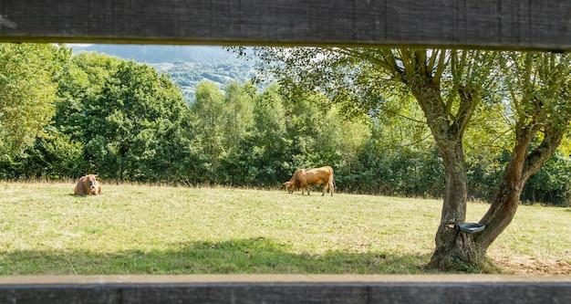 Mucche marroni al pascolo su un prato dietro una staccionata in legno nelle asturie, spagna