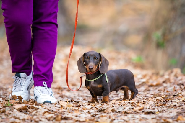 Parco a piedi del cucciolo del bassotto marrone con il proprietario