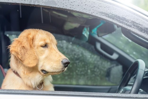 Cane marrone (golden retriever) seduto in macchina al giorno di pioggia. viaggiare con il concetto di animale