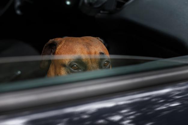 Il cane marrone guarda fuori dalla macchina e aspetta