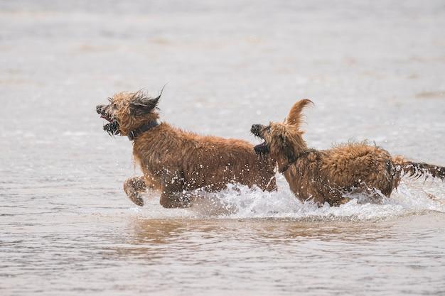 Cani marroni che giocano in acqua