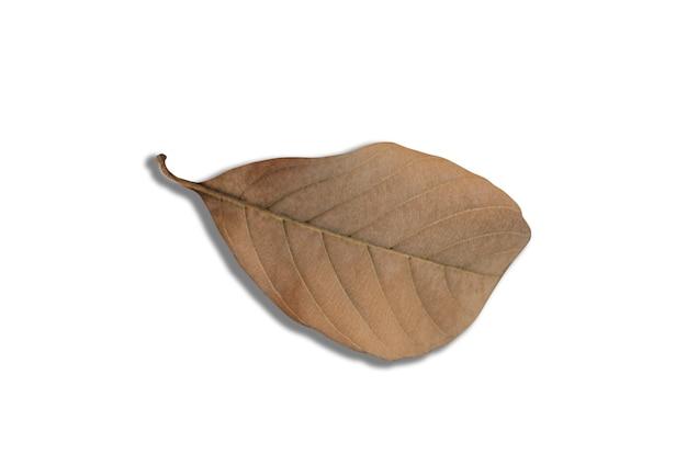Brown asciuga le foglie con un fondo modellato bianco