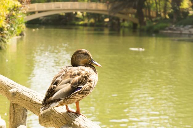 Anatra marrone in piedi su una ringhiera in legno di fronte a un fiume con un ponte