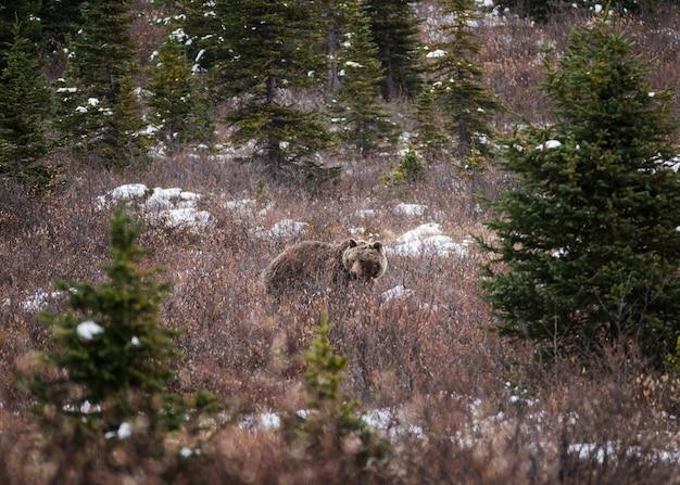 Orso grigio di brown lanuginoso sul prato in parco nazionale alla strada panoramica di icefields