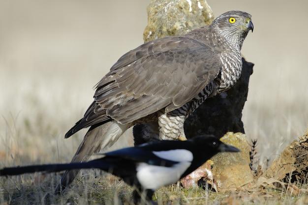 Falco marrone in un campo erboso con vegetazione sfocata