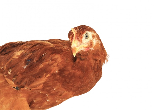 Close-up gallina marrone