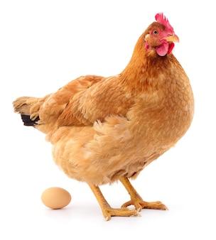Gallina marrone con uovo isolato su bianco, girato in studio.