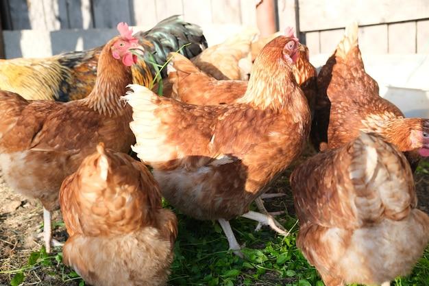 Galline marroni e gallo camminano nel pollaio e mangiano il concetto di mangime per erba di un'alimentazione sana e