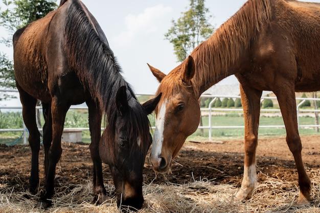 Cavallo marrone e cavallo marrone nero che mangiano paglia nel bestiame