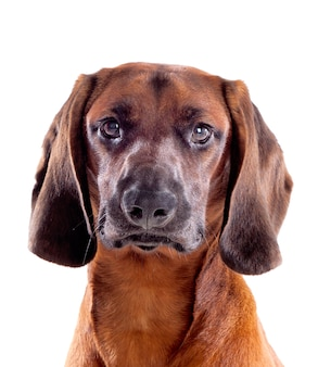 Cane marrone di bavarese
