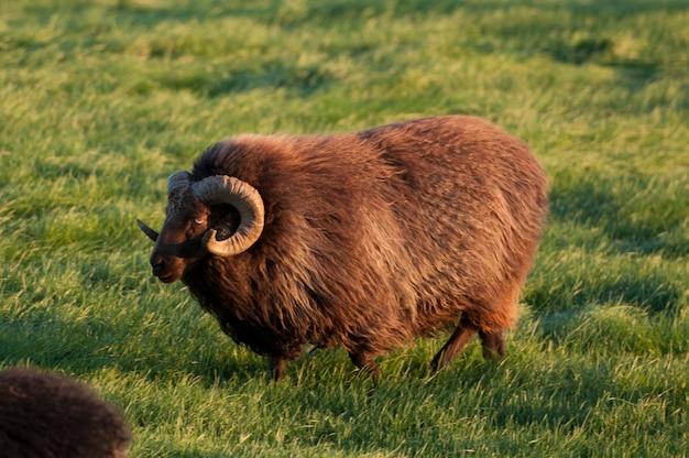 Pecore islandesi marroni con grande corno arricciato in un pascolo