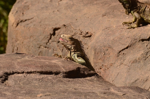 Iguana marrone con la bocca leggermente aperta con la lingua.