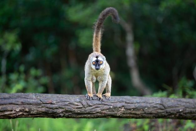 Lemure marrone gioca su un tronco d'albero