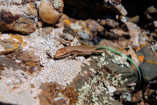 Una lucertola marrone con una coda verde siede su una pietra calda al sole