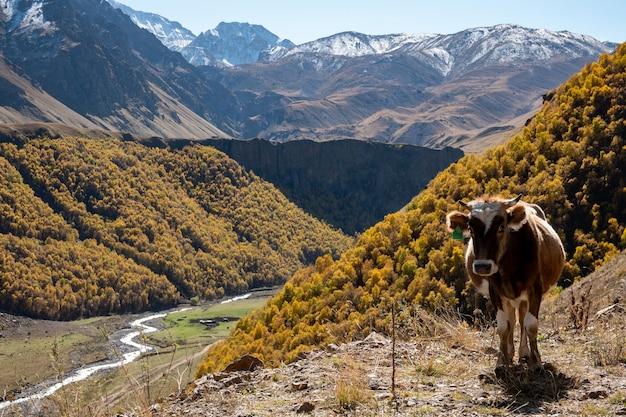 Mucche di montagna marroni al pascolo in un pascolo nell'elbrus in estate.
