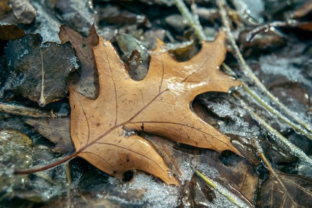 Foglia di quercia marrone ricoperta di ghiaccio dopo la pioggia gelata, bellissimo sfondo invernale, gelo invernale