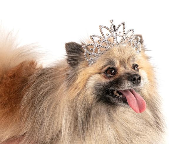 Cane pomerania marrone con una corona principessa su un muro bianco