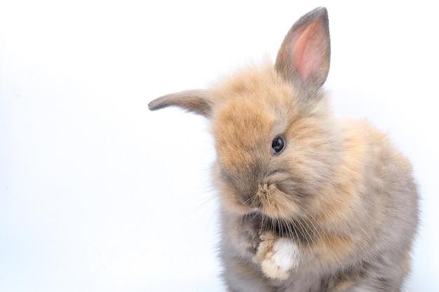 Un coniglio marrone isolato su un bianco
