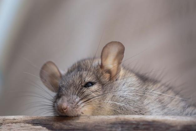 Ratto bruno (rattus norvegicus), ratto grigio appollaiato su boschi a riposo nascosti in casa.