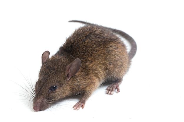 Brown rat rattus rattus su sfondo bianco