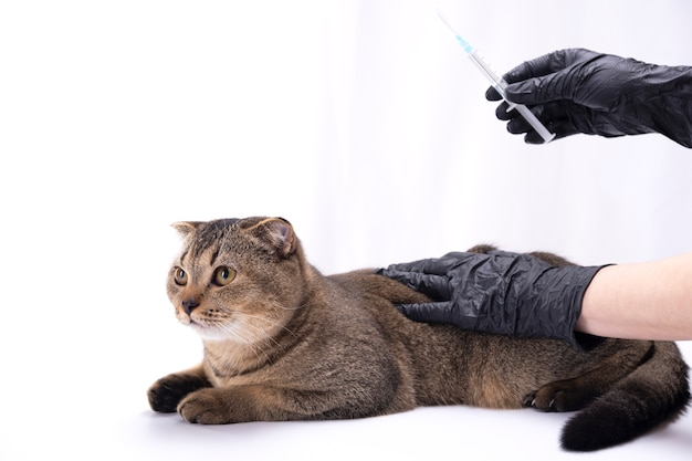 Gatto marrone scottish fold mano nella mano in guanti medicali. siringa in una mano. concetto di medicina veterinaria, vaccinazione, salute degli animali domestici.