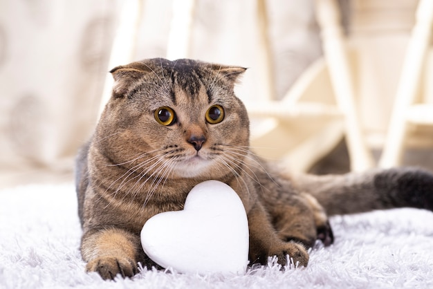 Gatto marrone scottish fold con cuore bianco sul tappeto.
