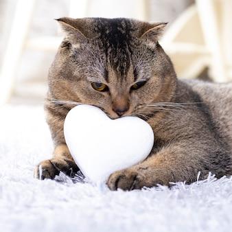 Gatto marrone scottish fold con cuore bianco tra le zampe sul tappeto