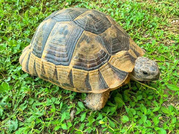 Tartaruga marrone in piedi sull'erba verde.