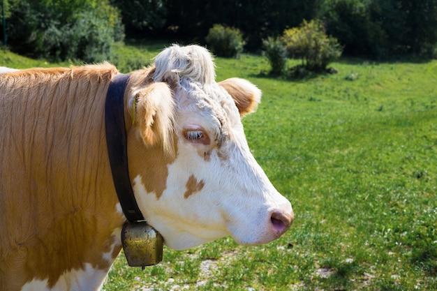 Toro marrone e bianco con campana di rame al collo sullo sfondo di un pascolo verde