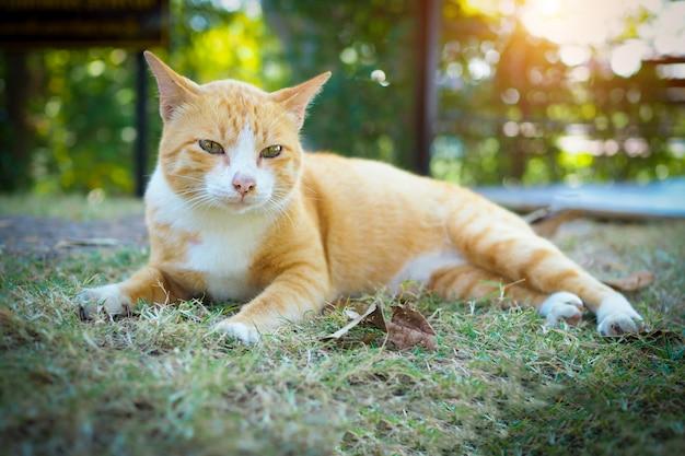 Brown e gatto bianco tailandesi su erba verde nel paesaggio della natura