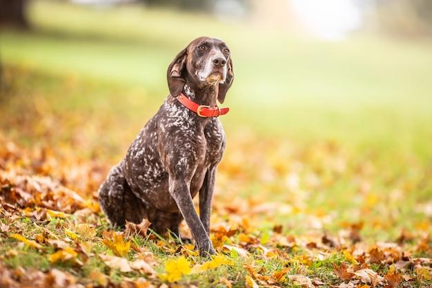 Cane marrone e bianco con un collare rosso si siede obbedientemente all'aperto durante una passeggiata autunnale. pointer tedesco a pelo corto.