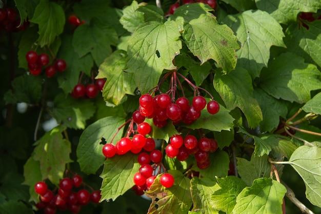 Una spazzola di bacche rosse di viburno sullo sfondo del fogliame verde brillante dell'arbusto