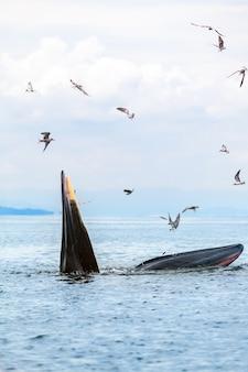 La balena di bryde, la balena dell'eden, mangiando pesce nel golfo della thailandia.