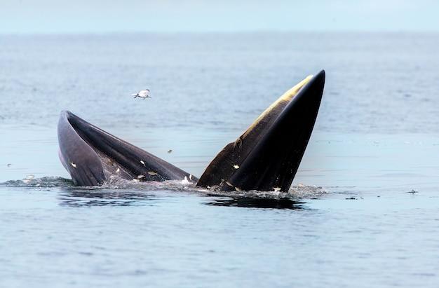 La balena di bryde, la balena dell'eden, mangia pesce nel golfo di thailandia
