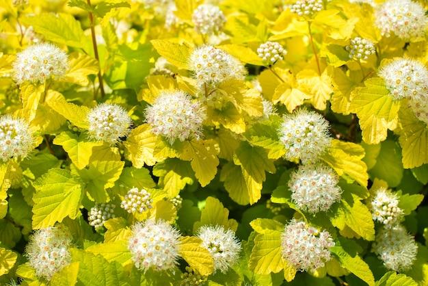 Freccette a foglia di vite oro. cespuglio con foglie verdi e piccoli fiori bianchi. aiuola, sfondo estivo, giardinaggio.