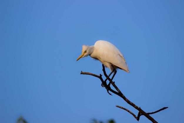 Bubulcus ibis o airone o comunemente noto come airone guardabuoi appollaiato sul ramo di un albero