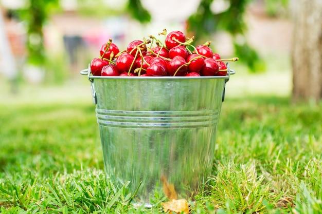 Secchio di ciliegie appena raccolte nel giardino estivo