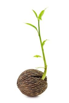 Germoglio di germinazione delle piante isolato su bianco