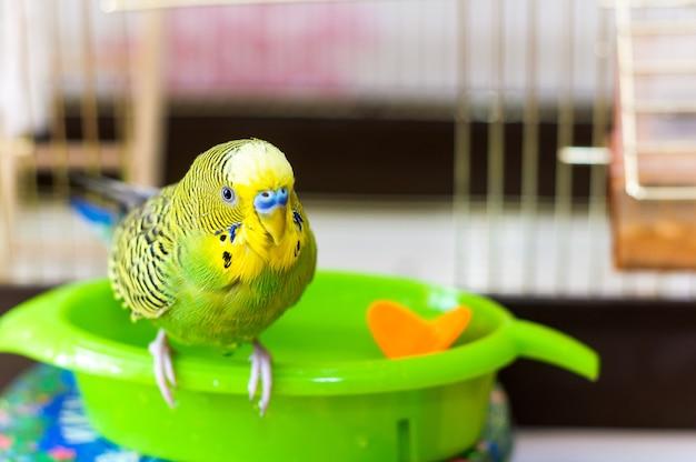 Il pappagallino ondulato è bagnato dopo il nuoto