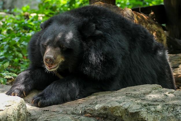 L'orso buffalo è sonno e riposo