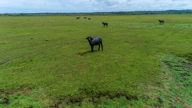 Un gruppo di bufali che si alimenta nei campi verdi