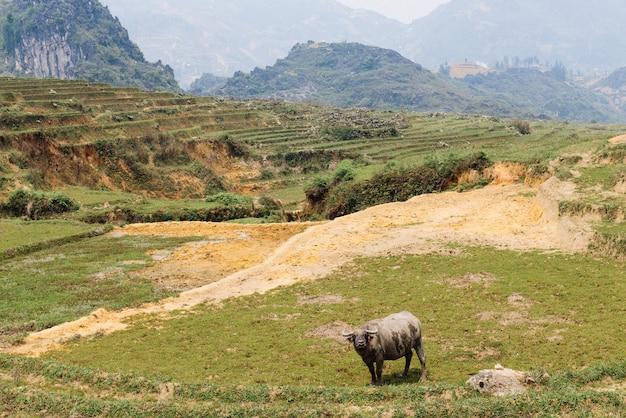 Buffalo sul campo di riso in vietnam
