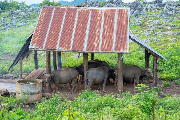 Stallo di bufalo nell'area del pascolo sulla collina