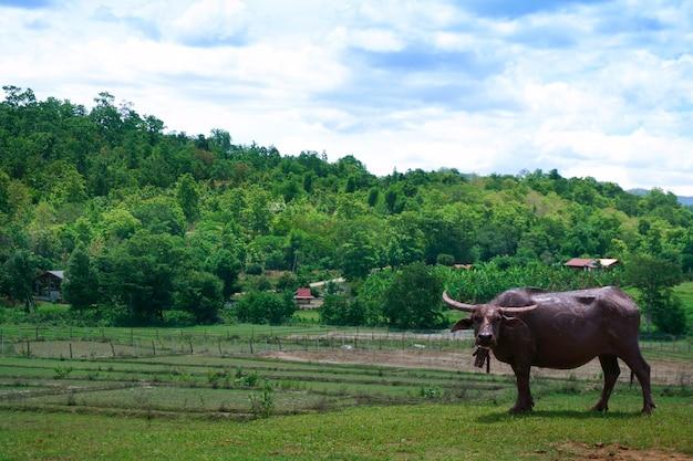Buffalo stand sulle piantine verdi del campo di riso in una risaia con un bel cielo e nuvole