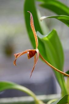 Specie di bulbophyllum fiore che sboccia in primo piano selvaggio