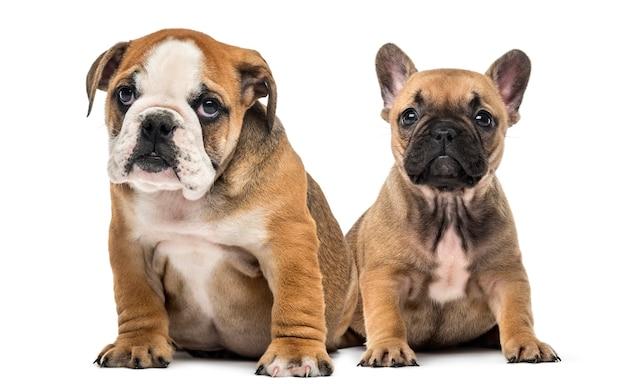 Cuccioli di bulldog seduto, isolato su bianco