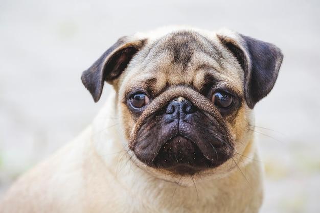 Primo piano del cucciolo del bulldog su priorità bassa vaga luce