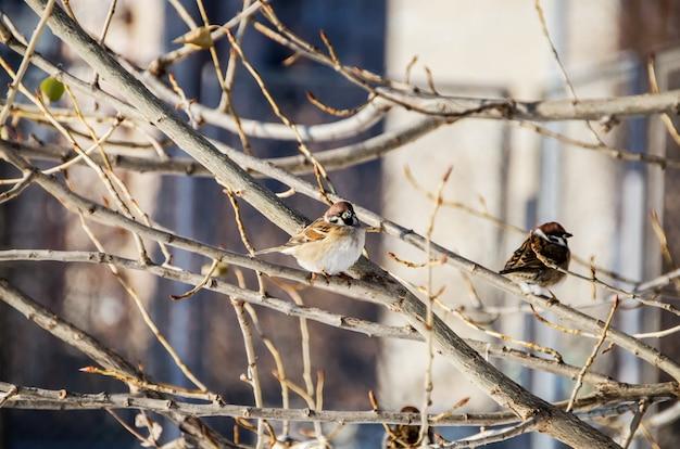 Ciuffolotti su un ramo in inverno