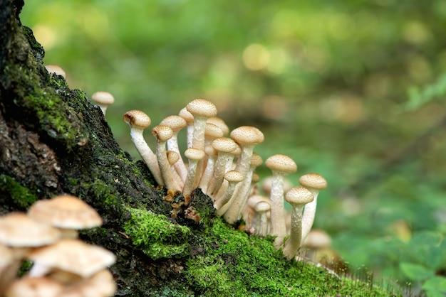 Mazzetto di armillaria mellea funghi che crescono sul tronco di albero nella foresta