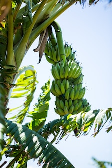 Mazzo di banana sulla palma